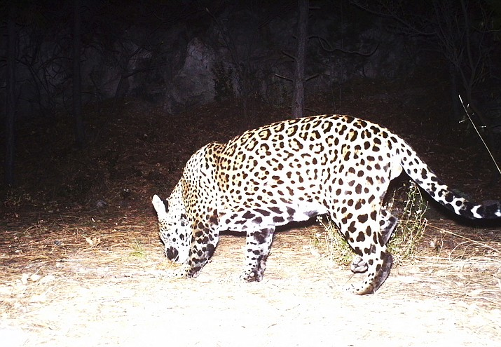 Agencies recently received a photograph of a jaguar taken by a Fort Huachuca trail camera in the Huachuca Mountains. If confirmed, this will be the second jaguar known to live in the state.