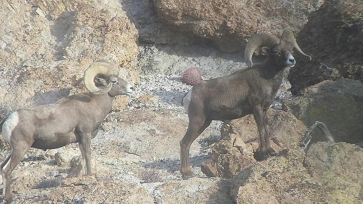 These two rams were spotted by the writer, who shot them only with his camera.
