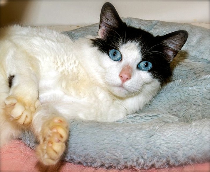 Pippy is a 1-year-old Tuxedo who is hoping to enchant her way right into your heart!