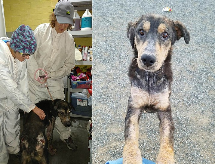 When Murphy was first rescued he had severe mange, infections, and was malnourished. Today his wounds are healing, he's healthy, and he'll soon be ready for a forever home. For video: https://www.youtube.com/watch?v=5j1-YOEybX8