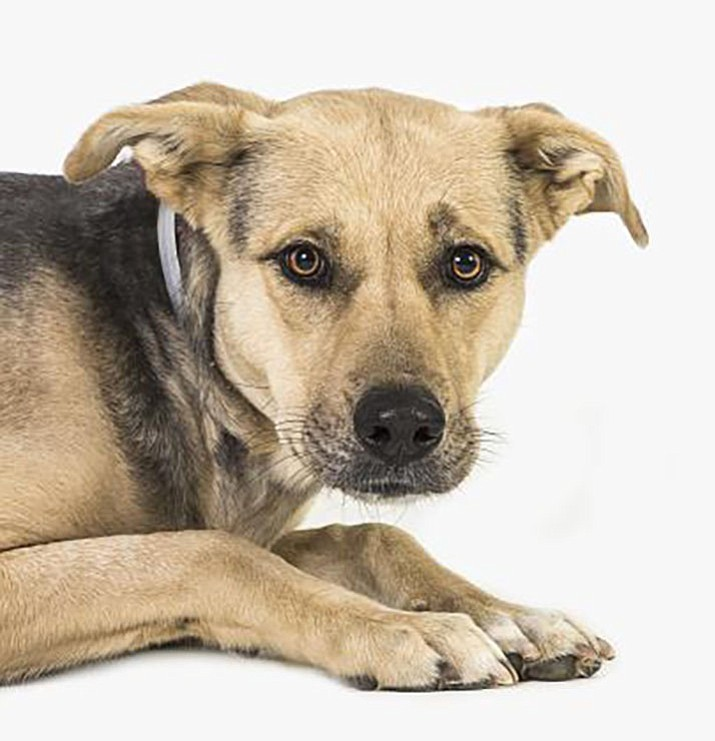 Lou (Lou Lou) is a 2-year-old Catahoula Leopard mix at Yavapai Humane Society.