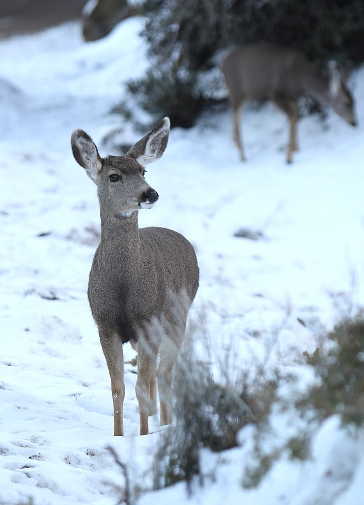 A doe looks for food outside Pine Lake Tuesday.