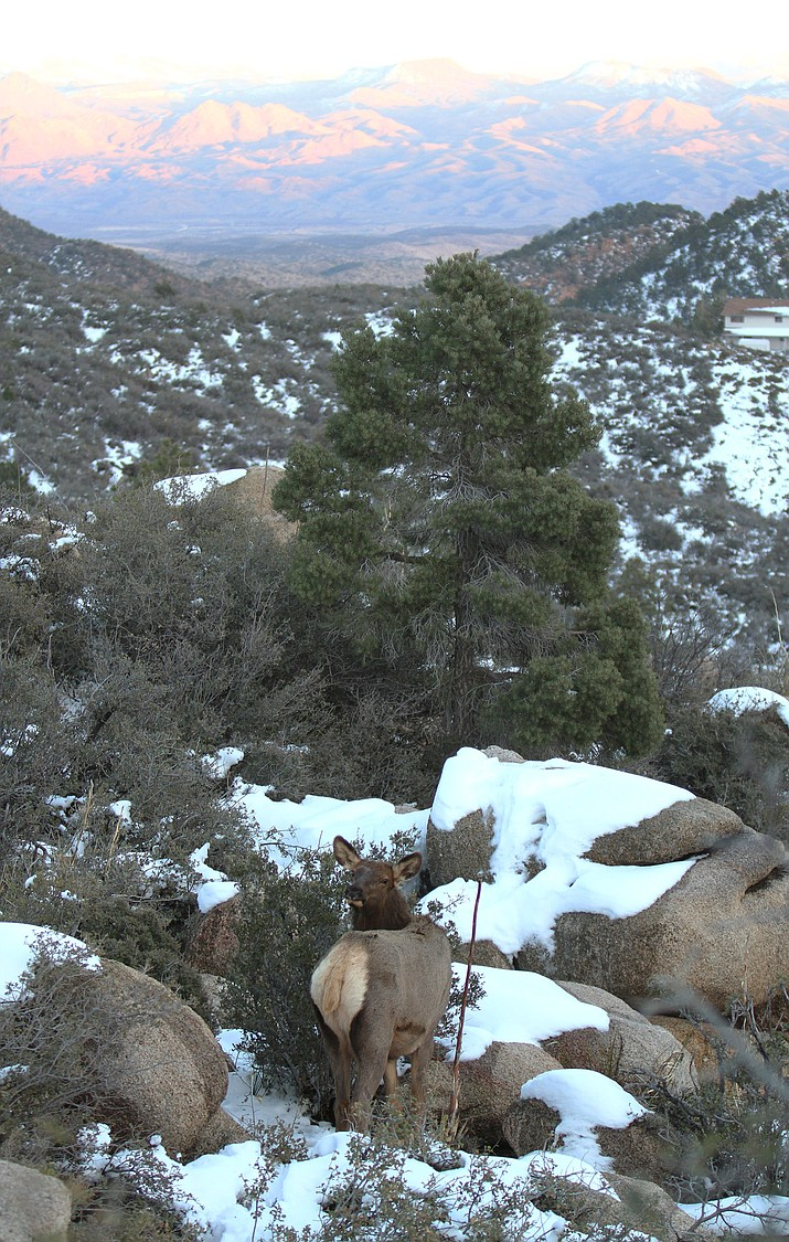 A cow elk looks for food outside of Pine Lake Tuesday after the last weekend's storms hit the Hualapai Mountains. Two more storms are expected to hit this weekend.