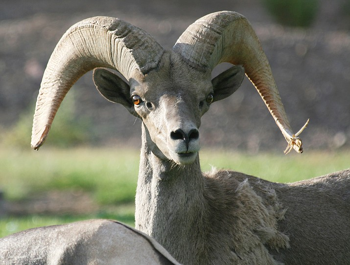 A ram poses just long enough to get this photograph in 2007.