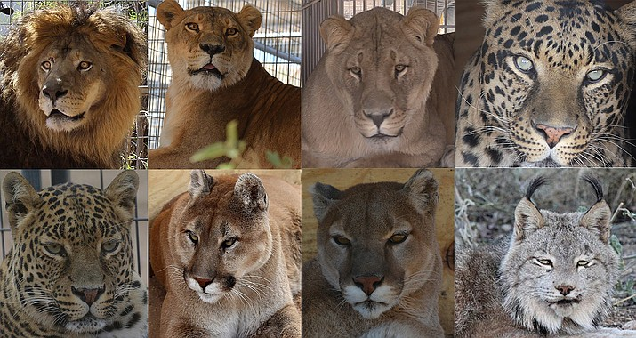 Eight new big cats will eat about $6,000 in meat, and they will win hearts at Keepers of the Wild.
