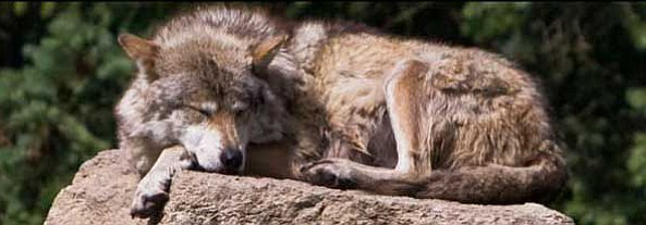 Recent genetic tests on a wild male Mexican wolf reveal that it is the offspring of a female placed in a foster pack in 2014.
