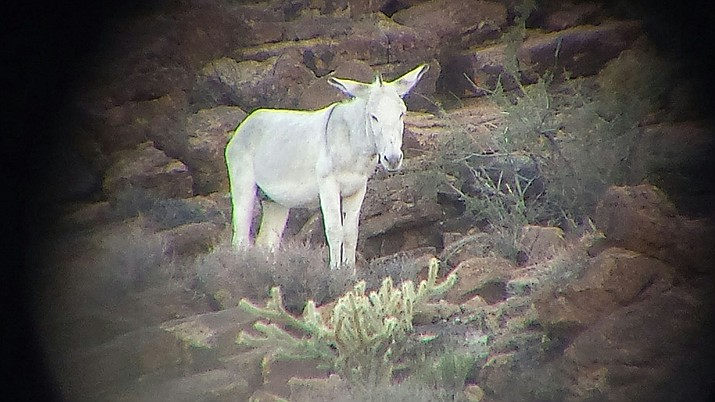 Outdoors Writer Don Martin found this white burro in the area of Cool Springs while on a recent desert bighorn sheep hunt in the Black Mountains.