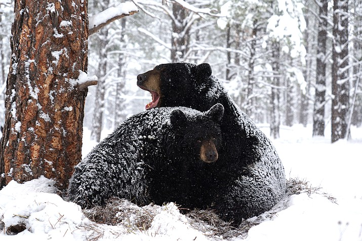 Black bears roll in the snow.