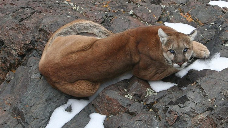 Mountain lion still on the prowl in williams williams for Fishing in williams az