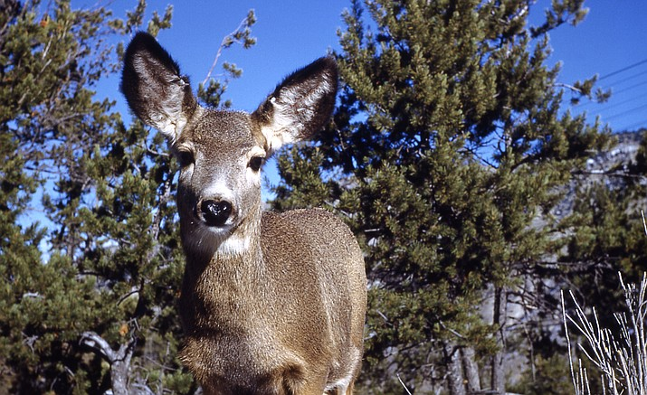 Mule deer in Arizona have managed to escape Chronic Wasting Disease, which has been found in New Mexico, Utah and Colorado.