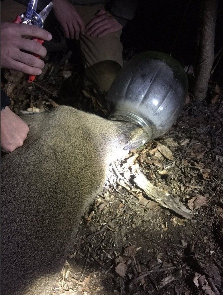 Members of the Maryland Department of Natural Resources' Wildlife and Heritage Service successfully rescued a juvenile male deer Sunday night after it was trapped for more than a week with a plastic snack container over its head.