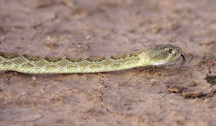 A Mohave rattler photographed in 2008.