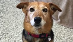 Molly is a German Shepherd/Border Collie mixed female dog looking for a family. She is about 7 years old.