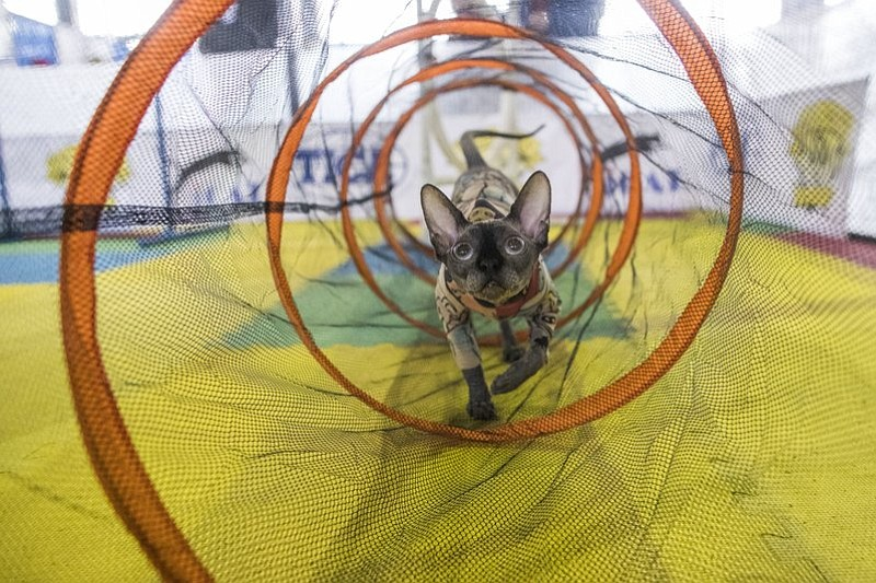 Bemisu, a Sphynx cat from Denver, rehearses the agility course during the meet the breeds companion event to the Westminster Kennel Club Dog Show, Saturday, Feb. 11, 2017, in New York. (AP Photo/Mary Altaffer)