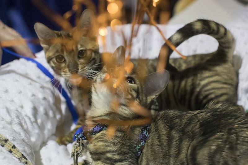 Toyger cats Blaze of Thunder, foreground, and Blaze of Lightning, from Orange County, N.Y., play with a toy during the meet the breeds companion event to the Westminster Kennel Club Dog Show, Saturday, Feb. 11, 2017, in New York. (AP Photo/Mary Altaffer)