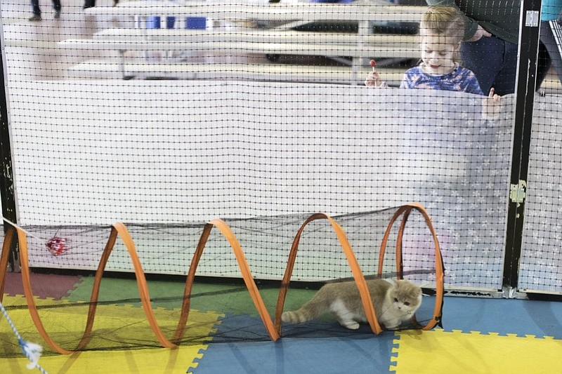 A child watches as Romeo, a minuet cat from Elkhart, Ind., rehearses the agility course during the meet the breeds companion event to the Westminster Kennel Club Dog Show, Saturday, Feb. 11, 2017, in New York. (AP Photo/Mary Altaffer)
