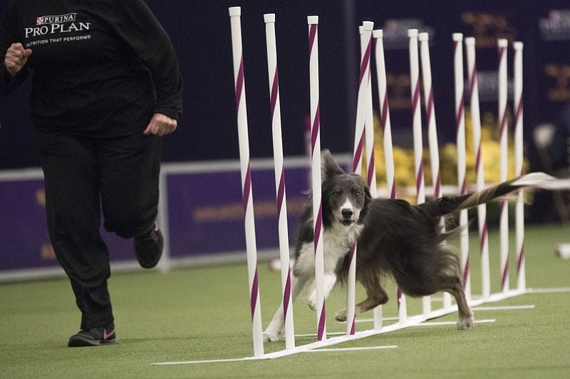 Dewley, a boarder collie, competes in the Masters Agility Championship companion event to the Westminster Kennel Club Dog Show, Saturday, Feb. 11, 2017, in New York. (AP Photo/Mary Altaffer)