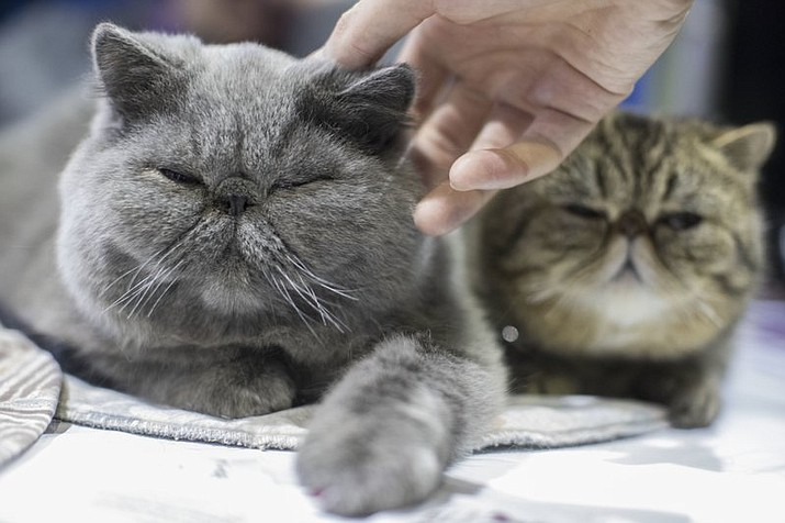 John Paul and Minnie, short haired Persian cats from Derby, Conn., are seen during the meet the breeds companion event to the Westminster Kennel Club Dog Show, Saturday, Feb. 11, 2017, in New York. (AP Photo/Mary Altaffer)