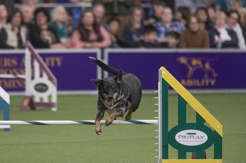 Lonnie, a female, mixed breed, owned by Robin Lembo of West Milford, N.J. competes in the Masters Agility Championship companion event to the Westminster Kennel Club Dog Show, Saturday, Feb. 11, 2017, in New York. (AP Photo/Mary Altaffer)