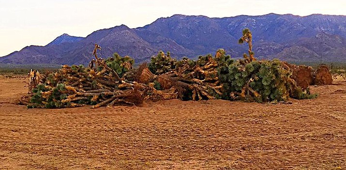 A pile of dead and dying Joshua Trees north of Kingman.