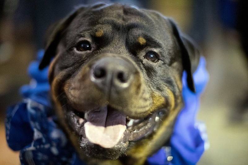 Prime, a Rottweiler who works as a service dog, is seen during the meet the breeds companion event to the Westminster Kennel Club Dog Show, Saturday, Feb. 11, 2017, in New York. (AP Photo/Mary Altaffer)