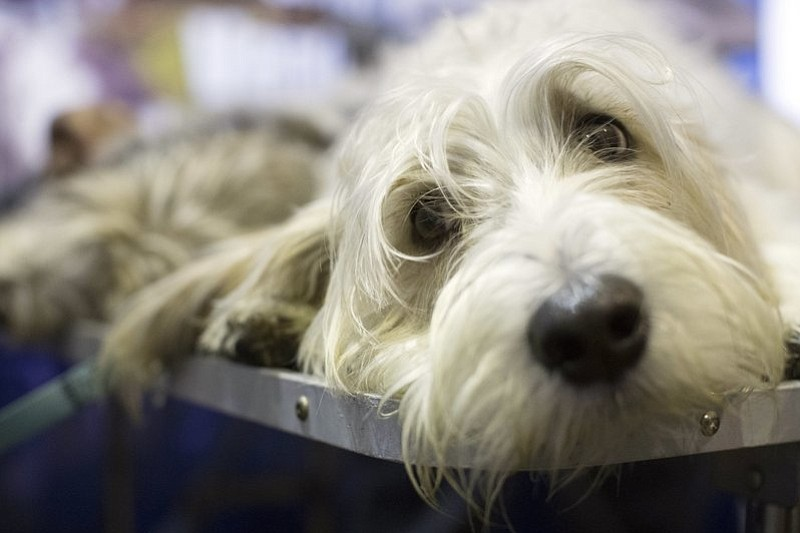 Rowan, a Petit Basset Griffon Vendéen,is seen during the meet the breeds companion event to the Westminster Kennel Club Dog Show, Saturday, Feb. 11, 2017, in New York. (AP Photo/Mary Altaffer)