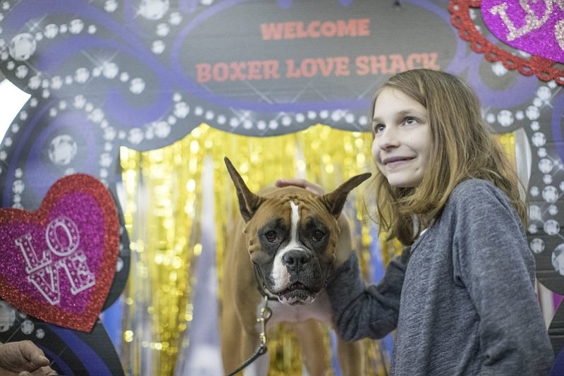 Twist, a boxer from Scotch Plains, N.J., poses for a photo with a visitor to the meet the breeds companion event to the Westminster Kennel Club Dog Show, Saturday, Feb. 11, 2017, in New York. (AP Photo/Mary Altaffer)