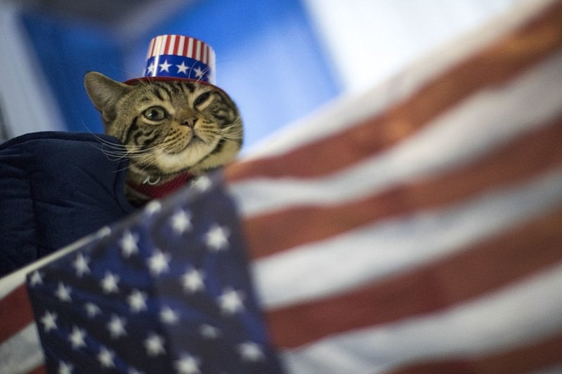 Uno, an American shorthaired cat, from Trenton, N.J., is seen during the meet the breeds companion event to the Westminster Kennel Club Dog Show, Saturday, Feb. 11, 2017, in New York. (AP Photo/Mary Altaffer)