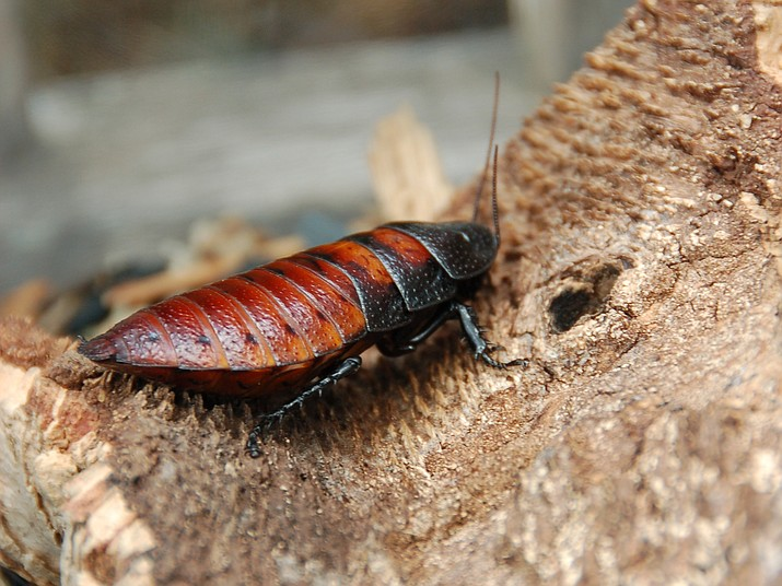 Example of a Madagascar hissing cockroach. (Photo courtesy commons.wikimedia.org)