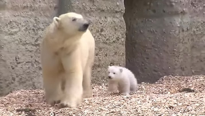 A 3-month old polar bear cub meets visitors for the first time at Munich's Zoo on Friday.