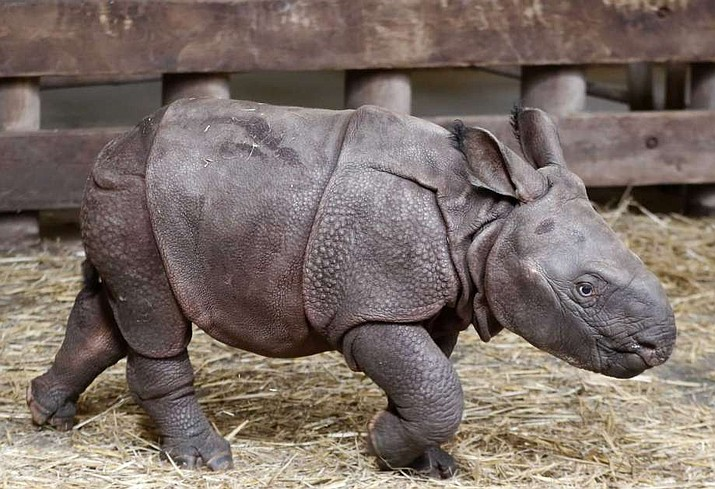 A newly born baby Indian rhino walks in its enclosure at the zoo in Plzen, Czech Republic, Friday, Feb. 24, 2017. The baby was born on Feb. 5, 2017, and is yet to be named.