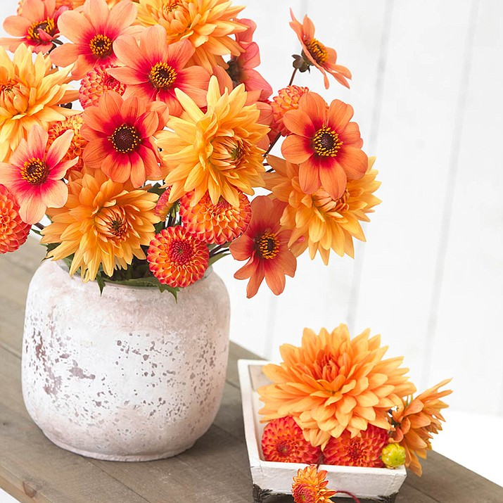 Attractive mixes of dahlias like this soft orange mix look stunning in the garden and combine nicely in cut floral arrangements.