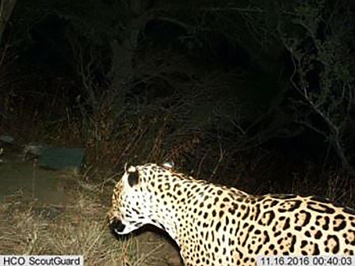 The third jaguar documented by a trail camera in southern Arizona since September 2012 was photographed by a Bureau of Land Management trail camera in Cochise County. (Photo courtesy of Bureau of Land Management)