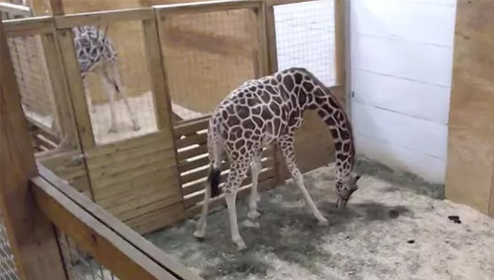 The 15-year-old long-legged YouTube star, named April, is expected to give birth any time now in her enclosed pen at the Animal Adventure Park. The 24-hour live feed has created baby fever for the New York giraffe.