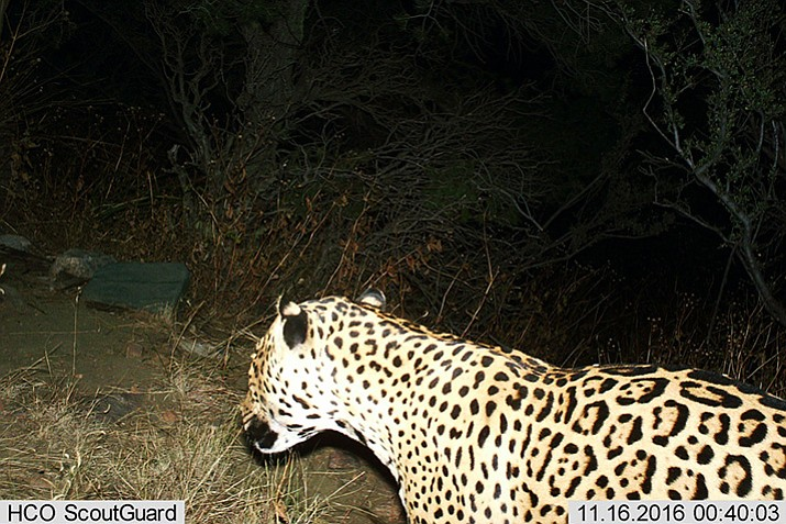 This photo provided by the U.S. Fish and Wildlife Service shows a Jaguar photographed by a motion-detection cameras in the Dos Cabezas Mountains in southern Arizona. Wildlife officials say they have evidence of a rare jaguar sighting in the United States. The U.S. Fish and Wildlife Service released a photo Thursday, March 2, from a trail camera that was taken in November and recently retrieved. (BLM/U.S. Fish and Wildlife Service via AP)