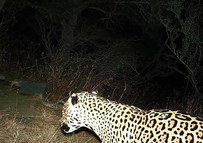 This jaguar was photographed by a Bureau of Land Management trail camera that was deployed in the Dos Cabezas Mountains. It is the third spotted in recent years after decades of no sightings at all.