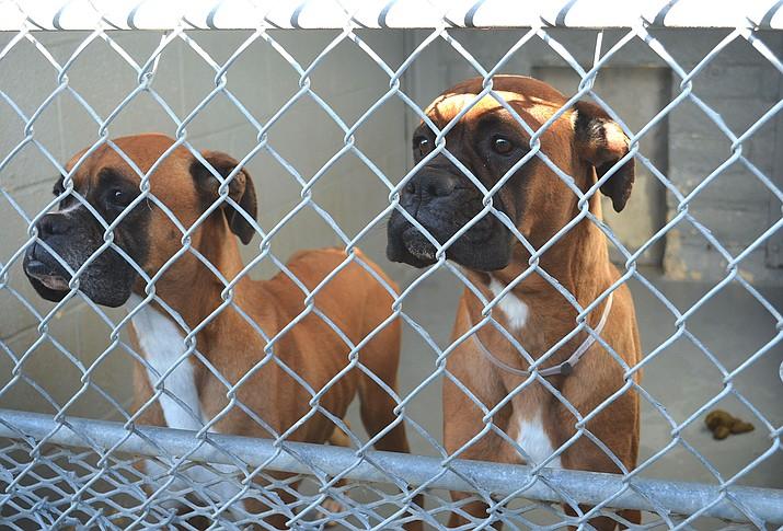 Dogs are interested in something at the Western Arizona Humane Society-managed Kingman animal shelter.