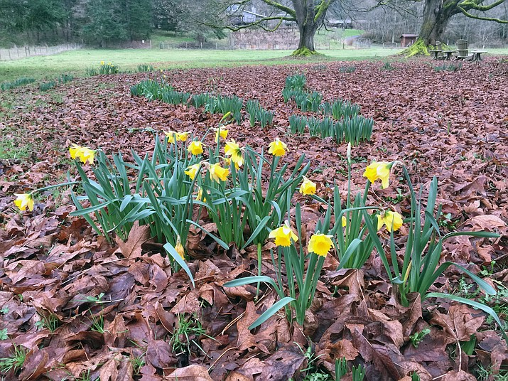 In this Feb. 27, 2017 photo, daffodils, photographed in a pasture near Langley, Wash., are entering their third growing season but a number of factors — planting too shallow, bad timing when planted, growing conditions and predation — could keep some from flowering. Leave perennial bulbs alone after they finish blooming. That gives them the time they need to re-energize and flower another year. (Dean Fosdick via AP)
