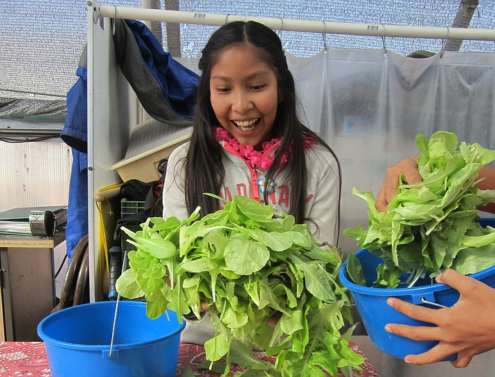 Paige Lomatewama collects the lettuce she harvested at Moencopi Day School's greenhouse March 8. The lettuce was served to students at the school for lunch. Katherine Locke/NHO