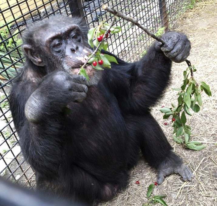 The chimpanzee Kiko eats wild cherries at the nonprofit Primate Sanctuary in Niagara Falls, N.Y. Kiko, who has medical problems requiring constant attention, is at the center of a court effort by attorney Steven Wise, who will try to persuade a New York appeals court that a chimpanzee should be treated as a person with legal rights, arguing that they should be freed from cages to live in an outdoor sanctuary.
