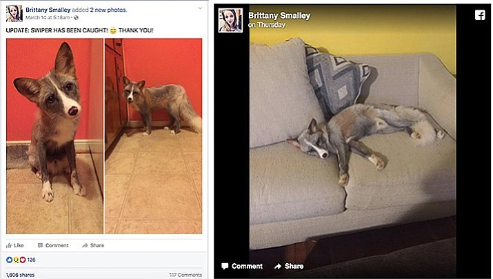 "Brittany Smalley's pet fox ""Swiper"" escaped the night of March 13 when a storm blew her front door open. These updates are from her Facebook page, facebook.com/brittany.smalley.3."