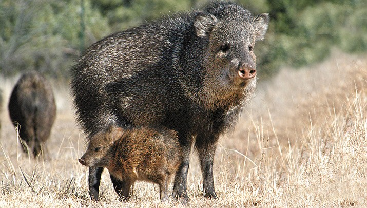 Javelinas have no defined breeding season so newborns are often seen in the herd year-round. The babies, called reds because of their color, are able to travel with the herd just hours after birth.