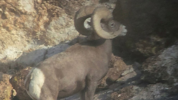 A bighorn sheep roaming Mohave County.