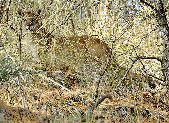 Local Prescottonian Everett Sanborn took this photo of a mountain lion near Goldwater Lake. Hayden Rosborough, a Prescott High School mountain biker, said on Facebook there was another one on the 396 trail just above the White Spar Campground on Wednesday afternoon.