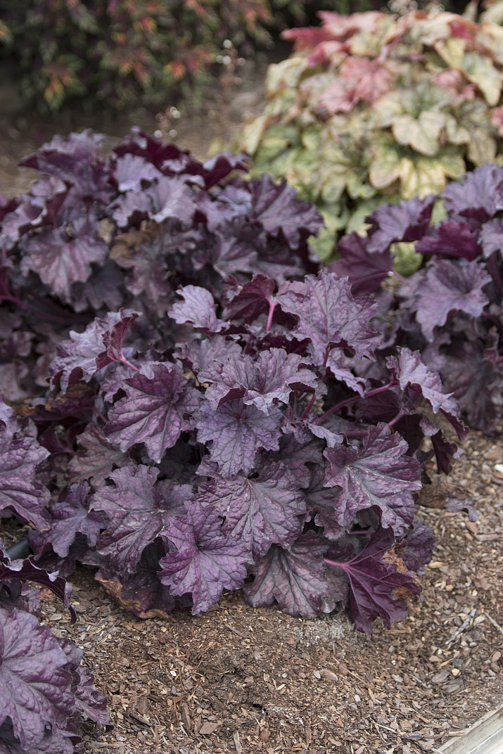 "This undated photo provided by Costa Farms shows Forever Purple Heuchera. ""One of my favorite ways to make a small space feel larger is to plant varieties that have rich green, purple, or orange foliage up front, and incorporate white-variegated leaves at the back,"" says Justin Hancock of Costa Farms. Forever Purple Heuchera and Campfire Coleus paint a vivid portrait in a garden without flowers. (Costa Farms via AP)"