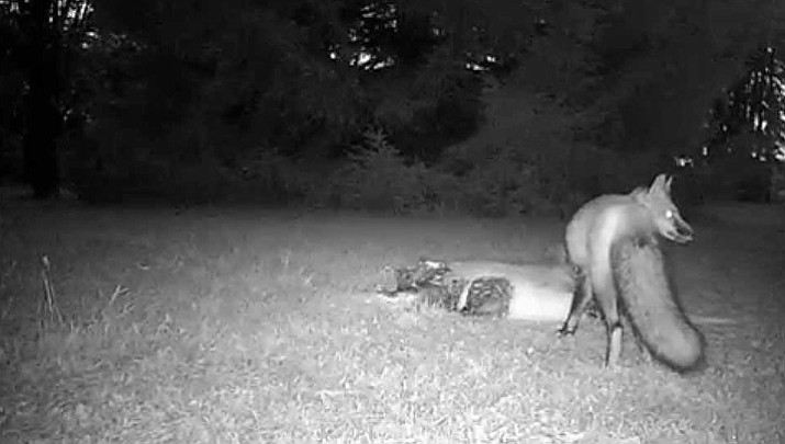 The Pennsylvania Department of Conservation and Natural Resources has placed deer carcasses in the nature park in hopes of drawing out carnivores and scavengers.