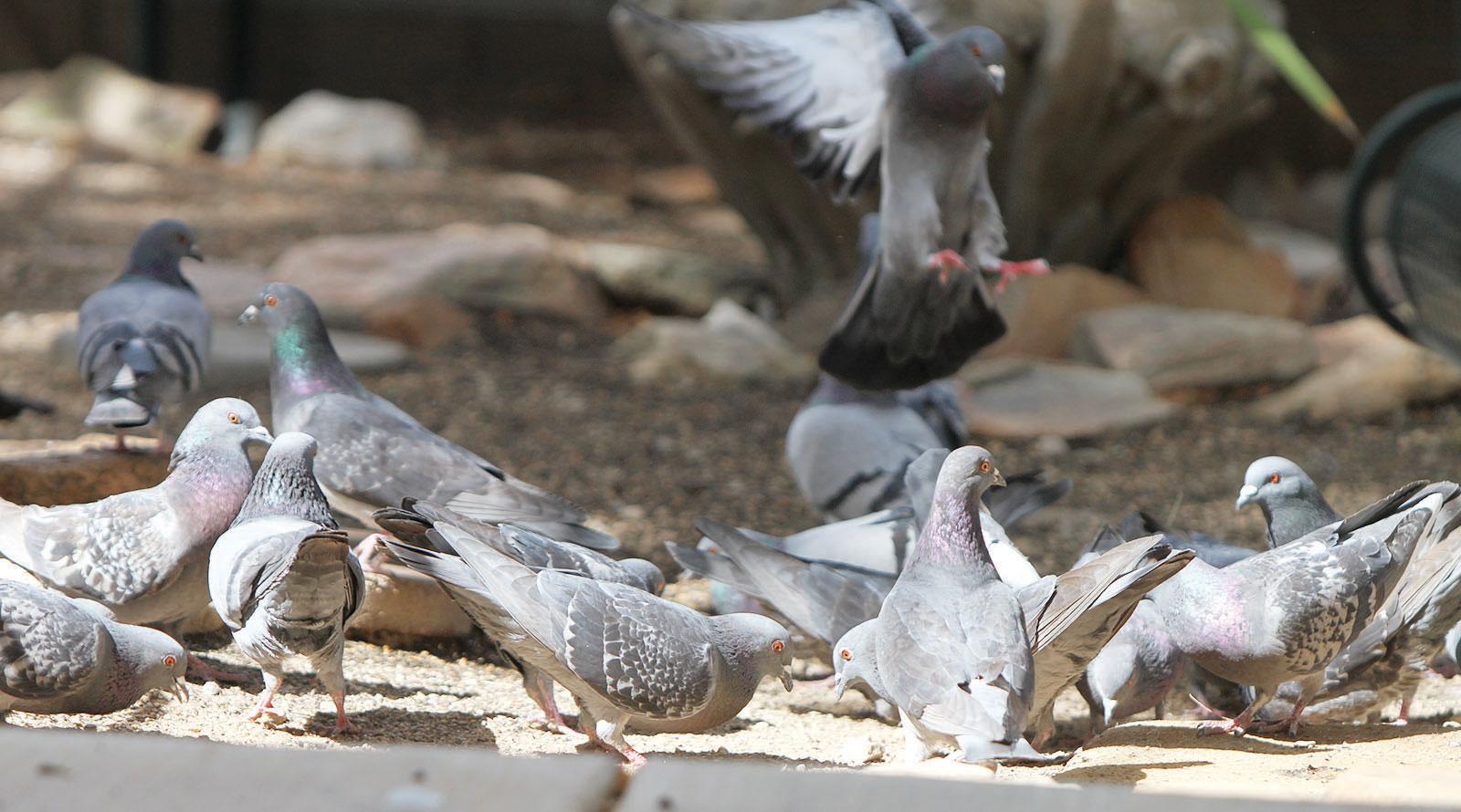 Eavesdroppers: Getting rid of pigeons isn't easy | Kingman ...