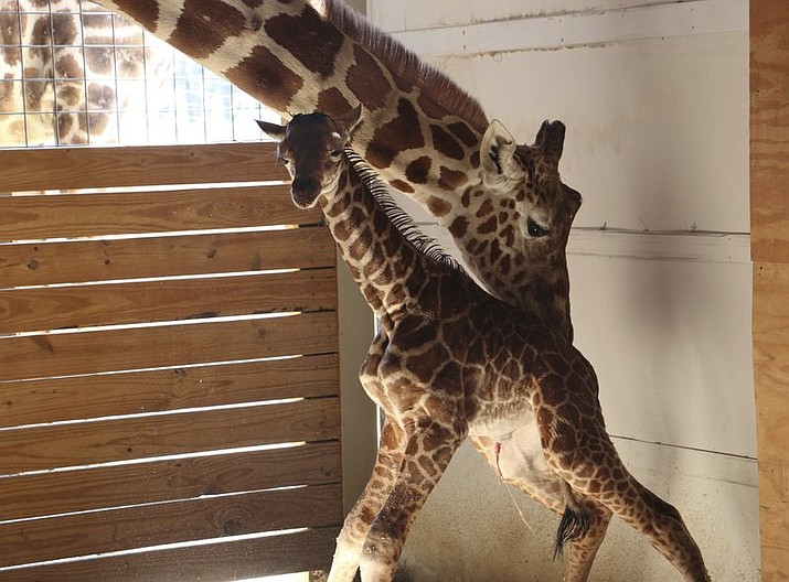 In this photo provided by Animal Adventure Park in Binghamton, N.Y., a giraffe named April stands with her new calf on Saturday, April 15, 2017. Her birth was broadcast to an online audience of more than a million viewers.