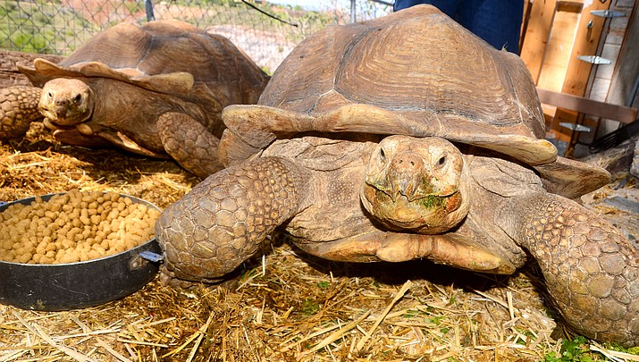 Jerome woman donates giant tortoises to Out of Africa (with video)
