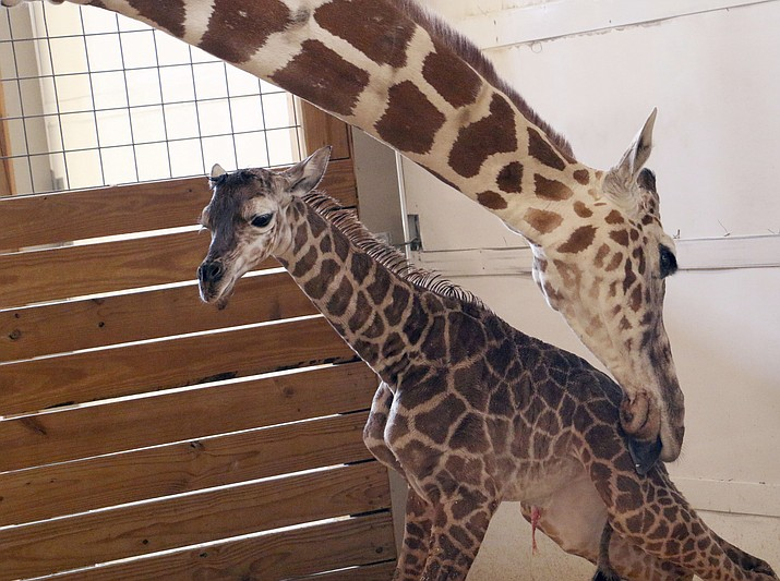 In this April 15, 2017, file photo, provided by Animal Adventure Park in Binghamton, N.Y., a giraffe named April licks her new calf. The baby's birth was broadcast to an online audience with more than a million viewers. Owners of the animal park won't say exactly how much profit they've pulled in from all April-related ventures, but internet marketing experts conservatively estimate the haul in the hundreds of thousands of dollars.